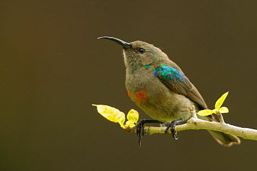 Southern Double-collared Sunbird (Cinnyris chalybeus) male in eclipse plumage, South Africa  -  Rosl Roessner/ BIA