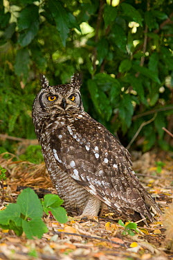 Spotted Eagle-Owl (Bubo africanus), South Africa  -  Rosl Roessner/ BIA