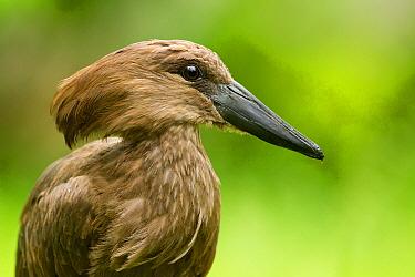 Hamerkop (Scopus umbretta)  -  Rosl Roessner/ BIA