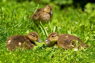 Mandarin Duck (Aix galericulata) chicks  -  Rosl Roessner/ BIA