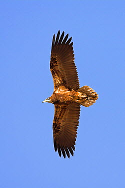 Egyptian Vulture (Neophron percnopterus), Muscat, Oman  -  Christine Jung/ BIA