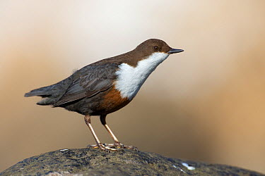 White-throated Dipper (Cinclus cinclus), Saxony, Germany  -  Oliver Richter/ BIA