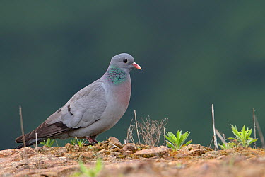 Stock Dove (Columba oenas), Saxony, Germany  -  Oliver Richter/ BIA