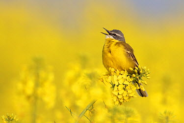 Blue-headed Wagtail (Motacilla flava) male singing, Saxony, Germany  -  Oliver Richter/ BIA