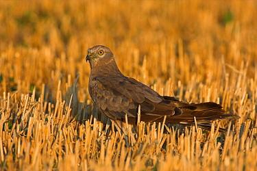 Montagu's Harrier (Circus pygargus), Rhineland-Palatinate, Germany  -  Christine Jung/ BIA