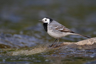White Wagtail (Motacilla alba) male, Saxony, Germany  -  Oliver Richter/ BIA