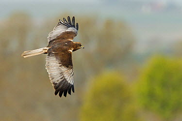 Western Marsh-Harrier (Circus aeruginosus) flying, Rhineland-Palatinate, Germany  -  Mathias Schaef/ BIA