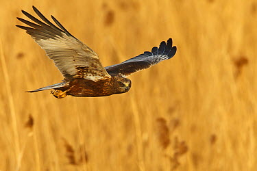 Western Marsh-Harrier (Circus aeruginosus) flying, Germany  -  Mathias Schaef/ BIA