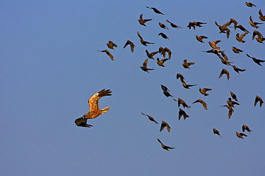 Western Marsh-Harrier (Circus aeruginosus) flying past a flock of birds, Rhineland-Palatinate, Germany  -  Mathias Schaef/ BIA