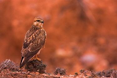 Long-legged Buzzard (Buteo rufinus), Boumalne Dades, Morocco  -  Christine Jung/ BIA