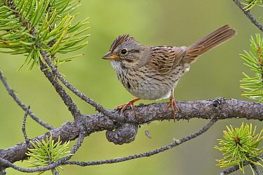 Lincoln's Sparrow (Melospiza lincolnii), Saskatchewan, Canada  -  Glenn Bartley/ BIA