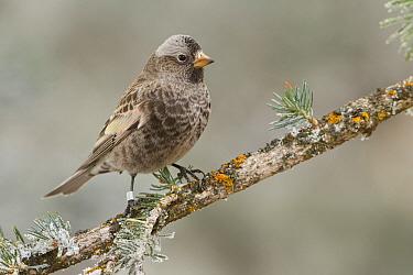 Black Rosy-Finch (Leucosticte atrata), New Mexico  -  Glenn Bartley/ BIA