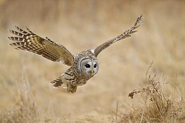 Barred Owl (Strix varia), Ontario, Canada  -  Glenn Bartley/ BIA