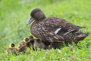 American Black Duck (Anas rubripes) female with chicks, Newfoundland, Canada  -  Glenn Bartley/ BIA