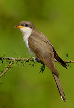 Yellow-billed Cuckoo (Coccyzus americanus), Texas  -  Alan Murphy/ BIA