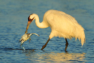 Whooping Crane (Grus americana) picking up a crab, Texas  -  Alan Murphy/ BIA
