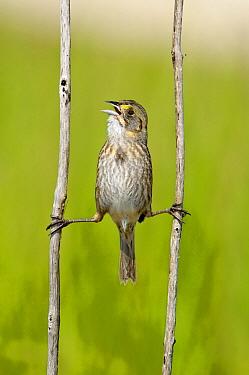Seaside Sparrow (Ammodramus maritimus) singing, Texas  -  Alan Murphy/ BIA