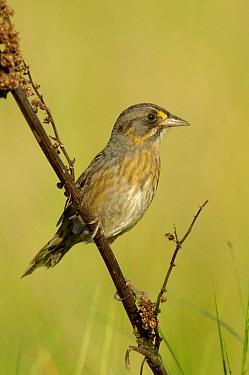 Seaside Sparrow (Ammodramus maritimus), Texas  -  Alan Murphy/ BIA