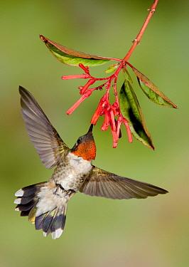Ruby-throated Hummingbird (Archilochus colubris) male feeding on nectar from flower, Texas  -  Alan Murphy/ BIA