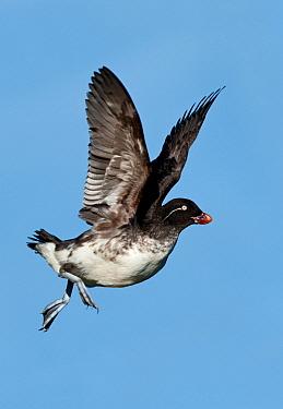 Parakeet Auklet (Cyclorrhynchus psittacula) flying, Alaska  -  Alan Murphy/ BIA