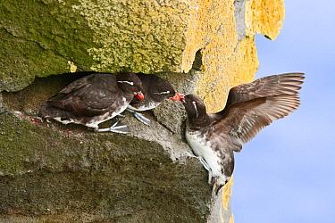 Parakeet Auklet (Cyclorrhynchus psittacula) trio at cliff face, Alaska  -  Alan Murphy/ BIA