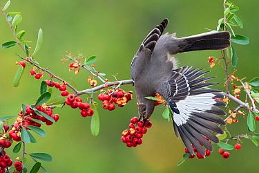 Northern Mockingbird (Mimus polyglottos) feeding on berries, Texas  -  Alan Murphy/ BIA