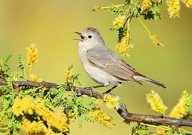 Lucy's Warbler (Oreothlypis luciae) singing, Arizona  -  Alan Murphy/ BIA