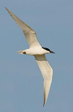 Gull-billed Tern (Gelochelidon nilotica), Texas  -  Alan Murphy/ BIA