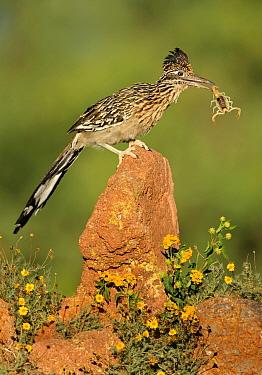 Greater Roadrunner (Geococcyx californianus) holding scorpion prey, Arizona  -  Alan Murphy/ BIA