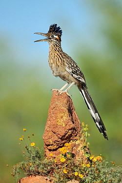 Greater Roadrunner (Geococcyx californianus) singing, Arizona  -  Alan Murphy/ BIA