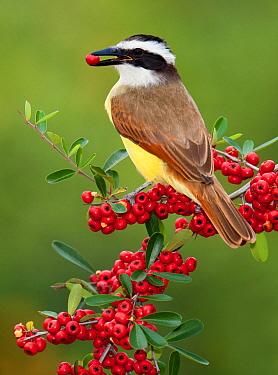 Great Kiskadee (Pitangus sulphuratus) feeding on red berries, Texas  -  Alan Murphy/ BIA