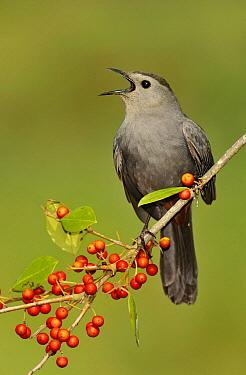 Gray Catbird (Dumetella carolinensis) singing, Texas  -  Alan Murphy/ BIA