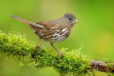 Sooty Fox Sparrow (Passerella iliaca unalaschcensis), British Columbia, Canada  -  Alan Murphy/ BIA