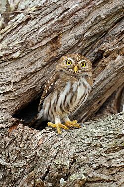 Ferruginous Pygmy Owl (Glaucidium brasilianum), Texas  -  Alan Murphy/ BIA