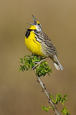 Eastern Meadowlark (Sturnella magna) singing, Texas  -  Alan Murphy/ BIA