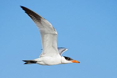 Caspian Tern (Hydroprogne caspia), Texas  -  Alan Murphy/ BIA