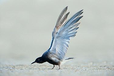 Black Tern (Chlidonias niger), Texas  -  Alan Murphy/ BIA