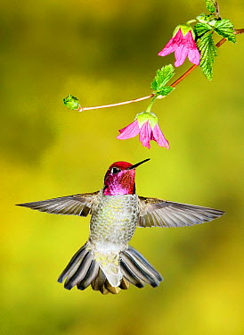 Anna's Hummingbird (Calypte anna) male visiting a flower, British Columbia, Canada  -  Alan Murphy/ BIA