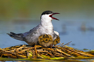 Whiskered Tern (Chlidonias hybrida) parent and chicks at nest, Seville, Spain  -  Mario Suarez Porras/ BIA