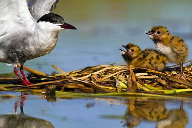 Whiskered Tern (Chlidonias hybrida) and chicks at nest, Seville, Spain  -  Mario Suarez Porras/ BIA