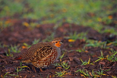 European Partridge (Perdix perdix), Rhineland-Palatinate, Germany  -  Mathias Schaef/ BIA