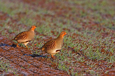 European Partridge (Perdix perdix) pair in agricultural field, Rhineland-Palatinate, Germany  -  Mathias Schaef/ BIA