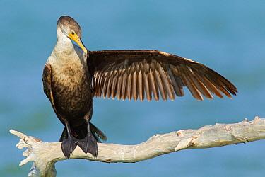 Double-crested Cormorant (Phalacrocorax auritus), Florida  -  Jan Wegener/ BIA