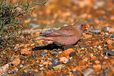Trumpeter Finch (Bucanetes githagineus), Guelmim, Morocco  -  Christine Jung/ BIA