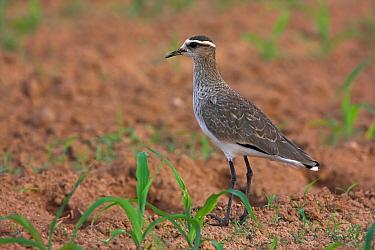 Sociable Lapwing (Vanellus gregarius), Sohar, Oman  -  Christine Jung/ BIA