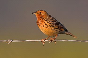 Red-throated Pipit (Anthus cervinus), Lesvos, Greece  -  Christine Jung/ BIA