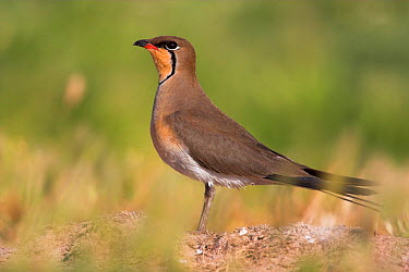 Collared Pratincole (Glareola pratincola), Lesvos, Greece  -  Christine Jung/ BIA