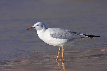 Slender-billed Gull (Larus genei), Al Mughsayl, Oman  -  Christine Jung/ BIA