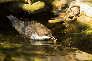 White-throated Dipper (Cinclus cinclus) feeding on insects in stream, Germany  -  Rosl Roessner/ BIA