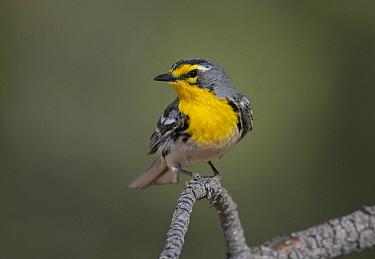 Grace's Warbler (Setophaga graciae), New Mexico  -  Robert Royse/ BIA